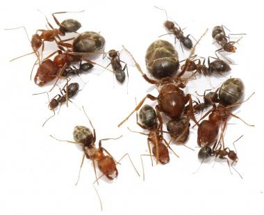 Kolonien Anoplolepis custodiens verschiedene Größen