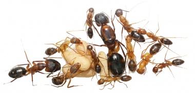 Kolonien Camponotus arnoldinus verschiedene Größen
