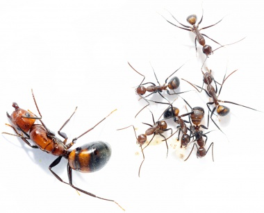 Kolonien Camponotus nicobarensis verschiedene Größen