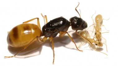 Kolonien Camponotus turkestanus verschiedene Größen