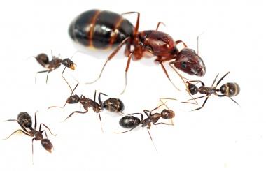 Kolonien Camponotus turkestanicus verschiedene Größen