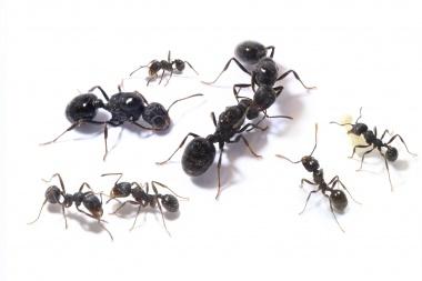 Kolonien Messor aciculatus verschiedene Größen