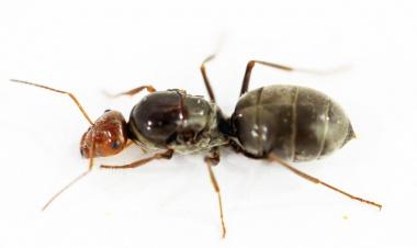 Kolonien Myrmecocystus depilis  - Honigtopfameisen