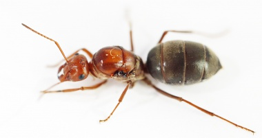 Kolonien Myrmecocystus mimicus - Honigtopfameisen