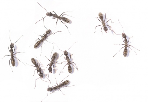 Kolonien Diacamma violaceum