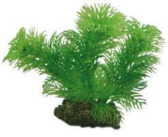 Egeria Pflanze 13 cm