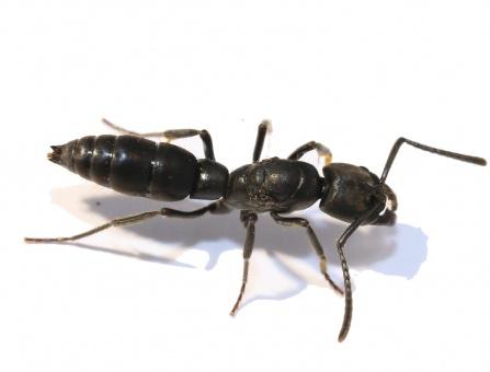 Kolonien Pachycondyla impressa verschiedene Größen
