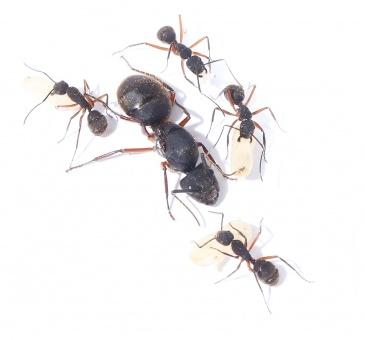 Kolonien Camponotus brasiliensis verschiedene Größen