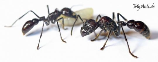 Kolonien Paraponera clavata verschiedene Größen