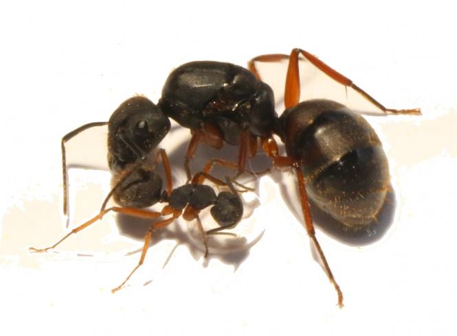 Kolonien Camponotus brasiliensis verschiedene Größen 1 Königin mit 1-4 Arbeiterinnen 47,99€