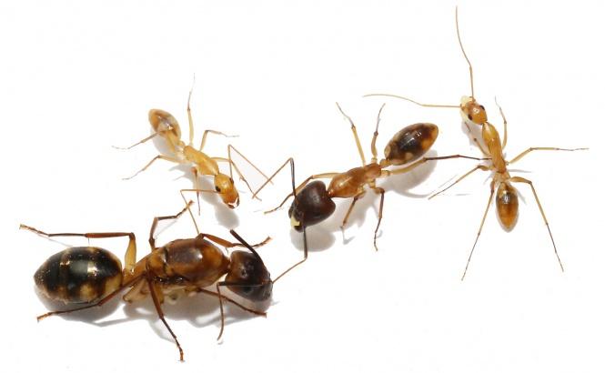 Kolonien Camponotus maculatus verschiedene Größen