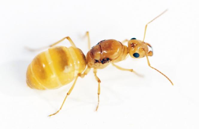 Kolonien Myrmecocystus navajo - Honigtopfameisen