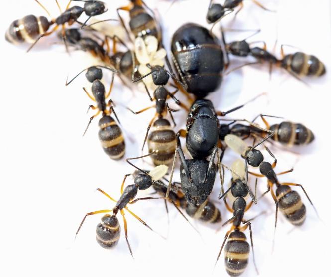Kolonien Camponotus rufipes verschiedene Größen