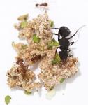 Kolonien Acromyrmex versicolor verschiedene Größen