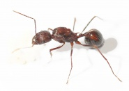 Kolonien Aphaenogaster texana