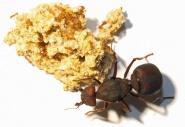 Kolonien Atta sexdens verschiedene Größen
