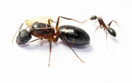 Kolonien Camponotus barbaricus verschiedene Größen