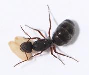 Kolonien Camponotus compositor verschiedene Größen