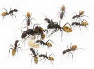 Kolonien Camponotus fulvopilosus verschiedene Größen