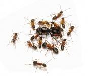 Kolonien Camponotus herculeanus verschiedene Größen