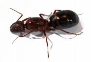 Kolonien Camponotus turkestanus Nr. 2 verschiedene Größen
