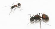 Kolonien Camponotus xiangban verschiedene Größen