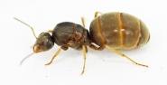 Kolonien Lasius neoniger verschiedene Größen