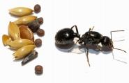 Kolonien Messor minor hesperius verschiedene Größen